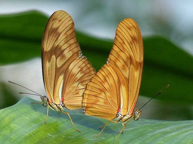 Butterflies, Julia Butterfly, Dryas Iulia, Orange
