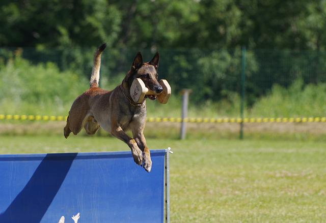 Belgian Shepherd Malinois, Jump, Retrieving Dumbbell