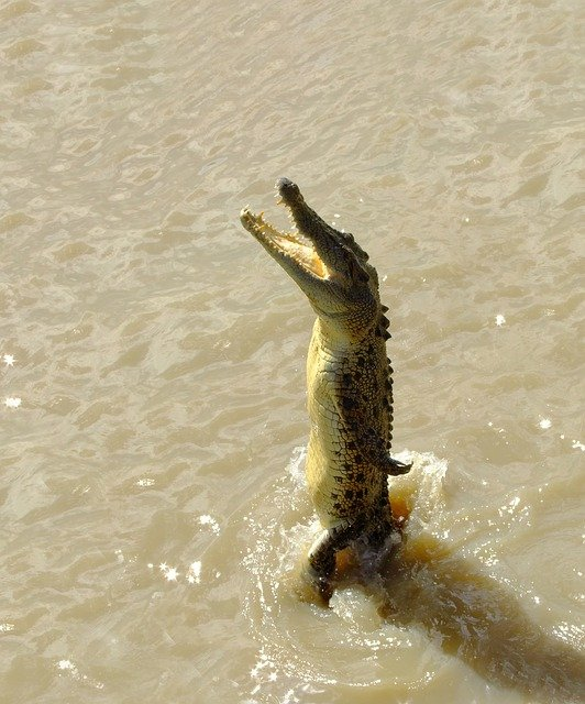 Crocodile, Saltwater, Jumping, River, Australia