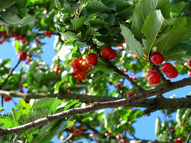 Cherry, Tree, Fruit, Nature, June, Colors
