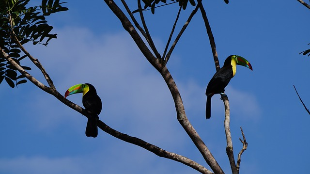Keel Billed Toucan, Jungle, Costa Rica, Forest