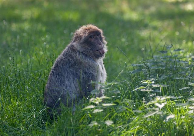 Barbary Macaque, Juvenile Barbary Macaque, Monkey