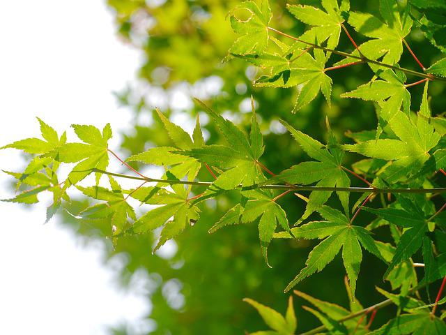 Maple, Leaf, Branch Of Maple, Ancient City, Kamakura