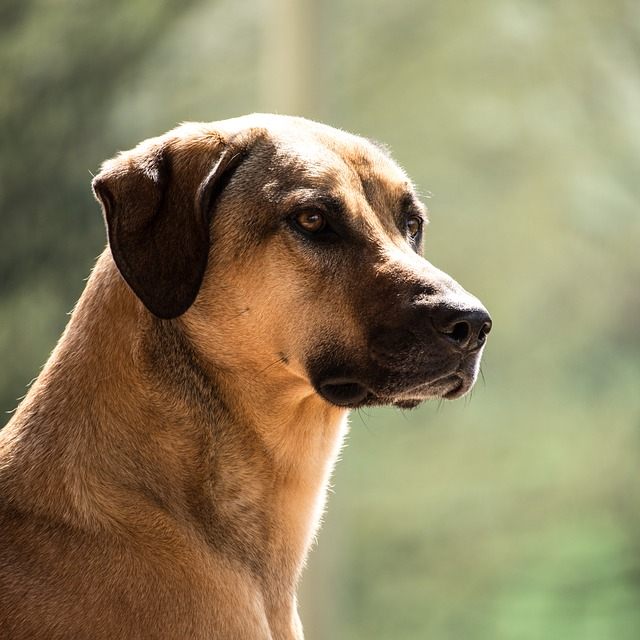 Dog, Kangal, Purebred Dog, Big Dog, Guard Dog, Watch