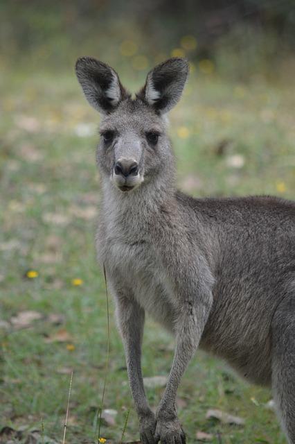 Kangaroo, Animal World, Animal, Wild, Nature, Australia