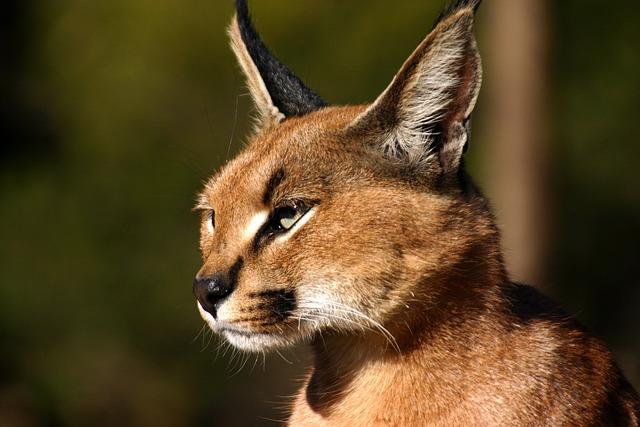 Desert Lynx, Big Cat, Karakal, Wildcat, Cat, Animal