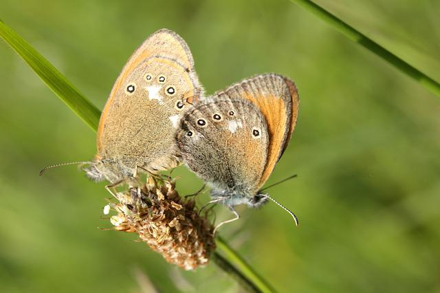 Butterflies, Meadow, Karolópók