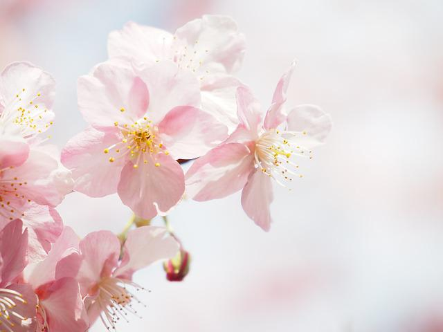 Kawazu Cherry Blossom, Cherry, Flowers, Spring, Wood