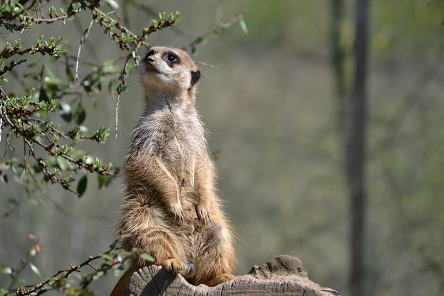 Meerkat, Watch, Zoo, Supervisor, Keep An Eye Out, Guard