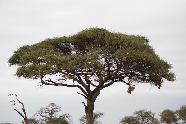 Acacia, Tree, Africa, Kenya