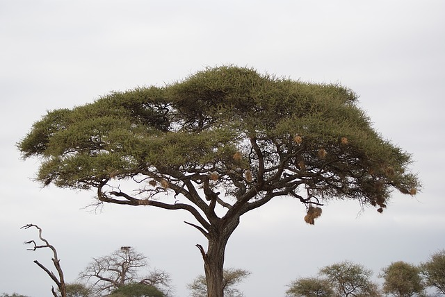 Boabab, Tree, Africa, Kenya