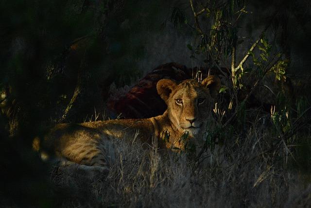 Lion, Safari, Predator, Africa, Carnivore, Kenya