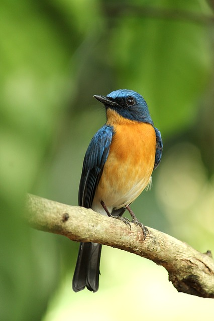 Kerala, India, Tickell's Blue Flycatcher, Bird