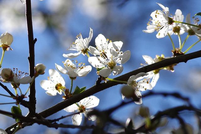 Flowers, Spring, White, Yellow Plums, Kernobstgewaechs