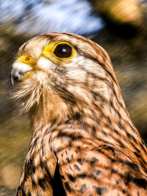 Kestrel, Falcon, Nature, Animal, Bird, Raptor