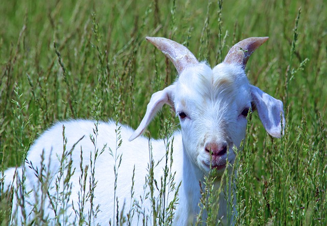 Goat, Baby, Cute, Kid, Farm, White, Young, Nature