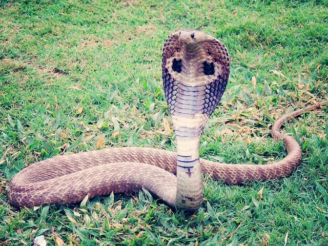 King Cobra, Cobra, Snake, Reptile, Animal, Wild