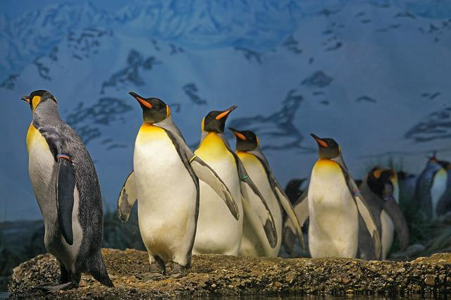 King Penguin, Penguin, Beaks, Penguin Band, Bird