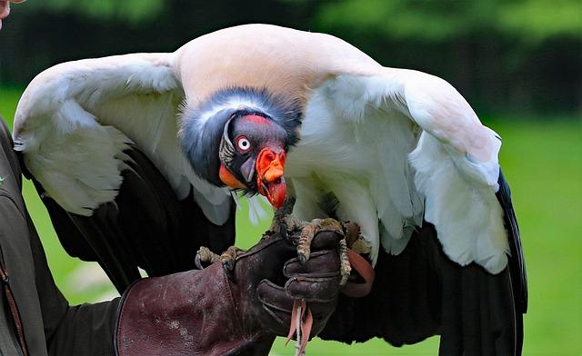 King Vulture, Vulture, King, Bird, Wildlife, Animal
