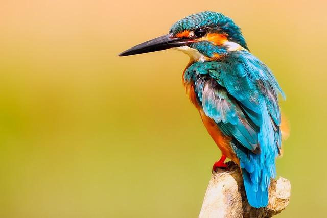 Kingfisher, Bird, Wildlife, Macro, Closeup, Portrait