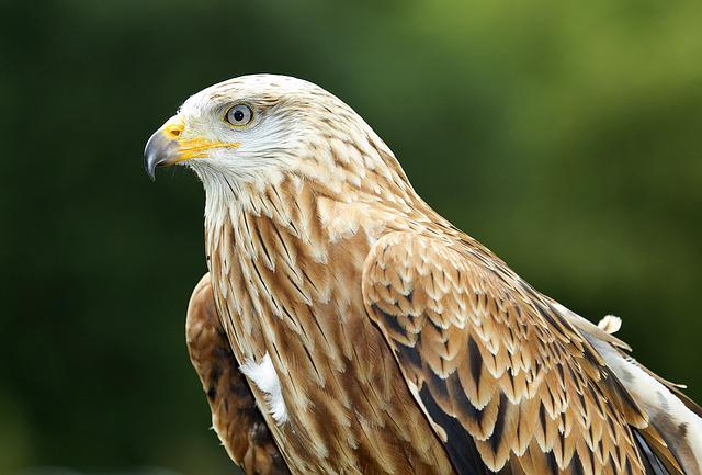 Bird Of Prey, Kite, Bird, Zoo, Beak