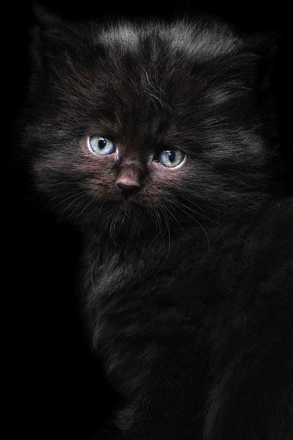 Cat, Kitten, Maine Coon, Cat Portrait, Cat Baby