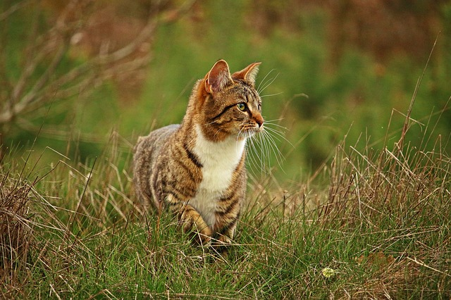 Cat, Mieze, Kitten, Mackerel Tabby, Domestic Cat, Grass