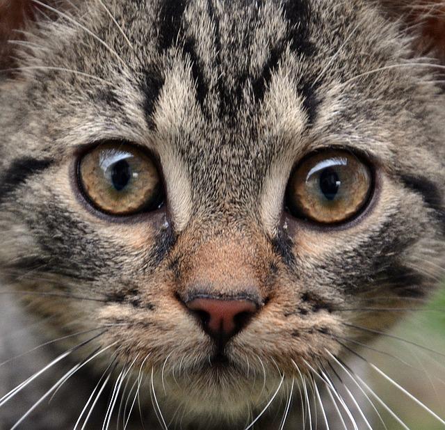 Cat, Animal, Mammal, Fur, Kitten
