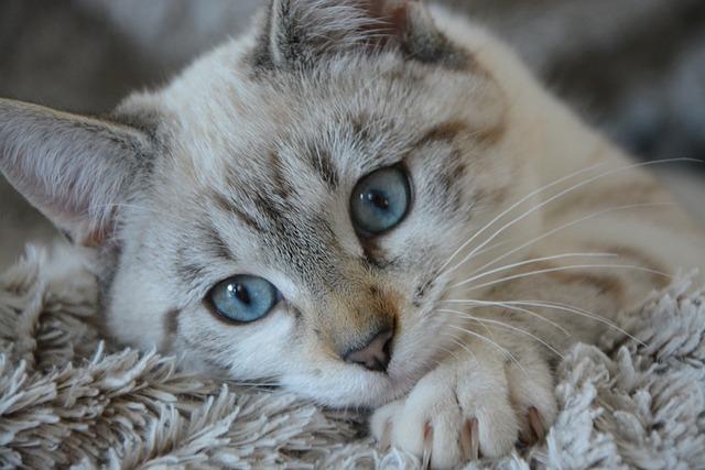 Cat, Kitten Lying, Head, Blue Eyes, Domestic Animal
