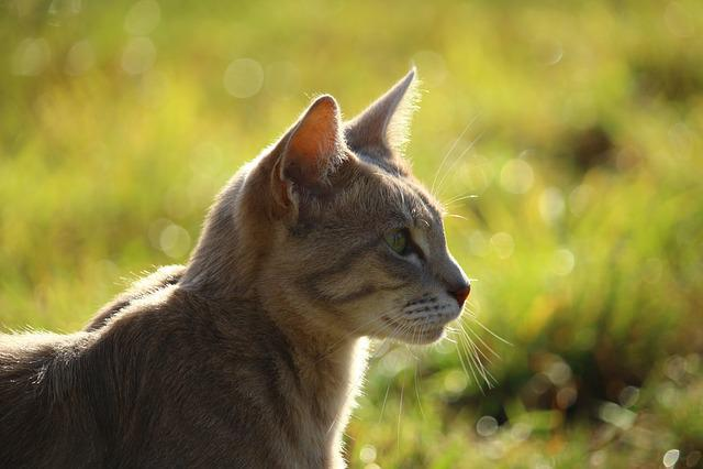 Cat, Mieze, Kitten, Mackerel, Tiger Cat, Breed Cat