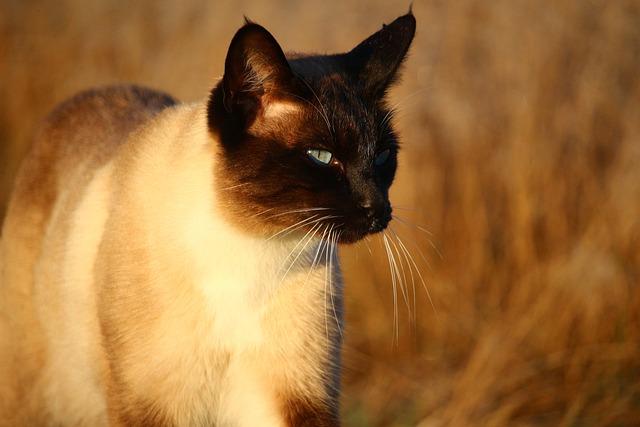 Cat, Mieze, Kitten, Siamese Cat, Siam, Siamese