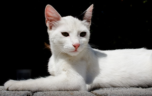 Cute, Cat, Animal, Pet, Portrait, White, Kitten