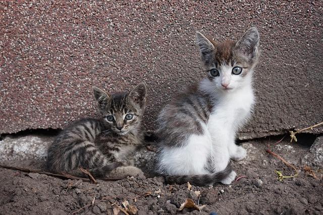 Kittens, Kitten, Animals, Cat, Pet, Nature, Creature