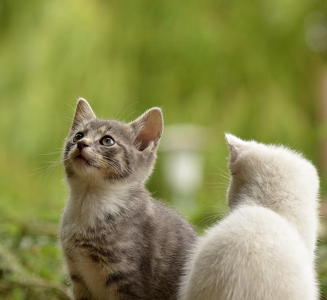 Kittens, Felines, Pets, Young Animals, Curious, Mammals