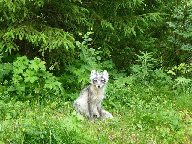 Foxes, Silver Fox, Predators, Kjøttspiser, Spruce