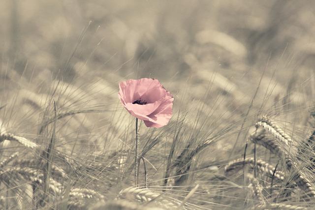 Poppy, Pink, Barley, Field, Edge Of Field, Klatschmohn
