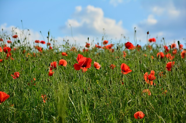 Red Poppy, Klatschmohn, Poppy, Field Of Poppies