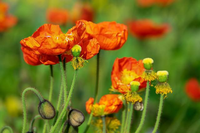 Poppy, Flower, Klatschmohn, Poppy Flower, Bud