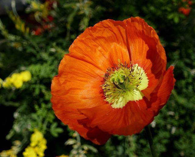 Klatschmohn, Flowers, Poppy, Red, Poppy Flower, Nature