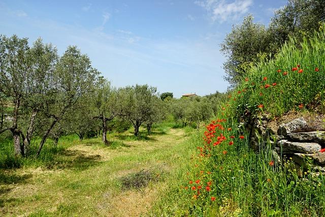 Nature, Olive Trees, Olive Garden, Klatschmohn, Spring