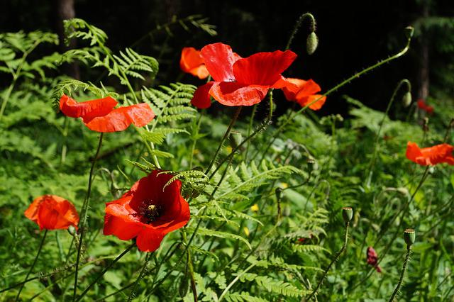 Poppy, Poppy Flower, Red Poppy, Klatschmohn, Blossom