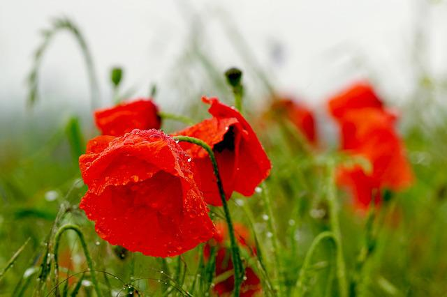 Poppies, Rain, Nature, Klatschmohn, Blossom, Bloom