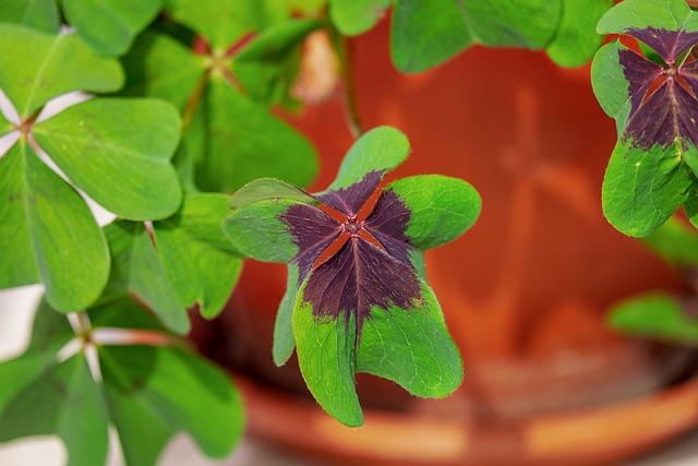 Klee, Four Leaf Clover, Lucky Clover, Lucky Charm