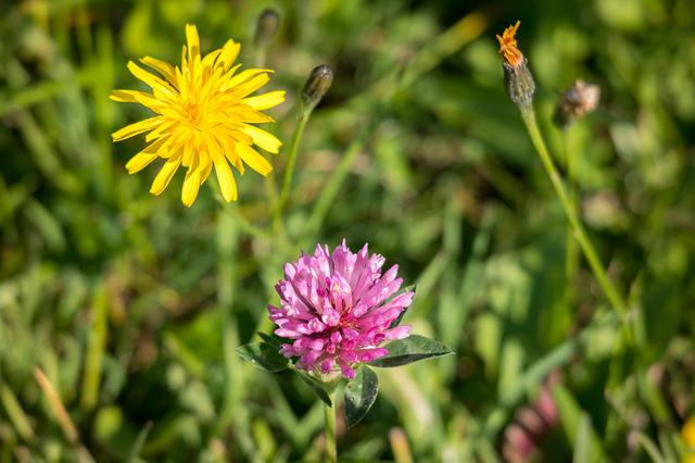 Hawksbeard, Klee, Reported Hawksbeard, Red Clover