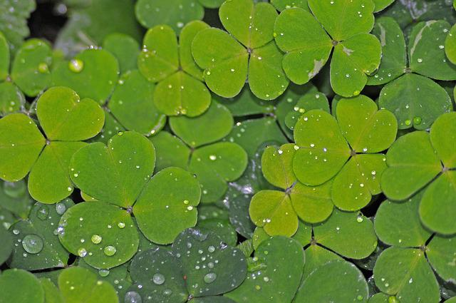 Klee, Green, Shamrocks, Green Clover, Wet, Dewdrop