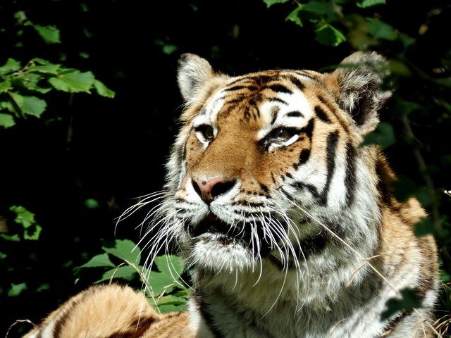 Tiger, Cat, Predator, Big Cat, Park, Knuth Borg