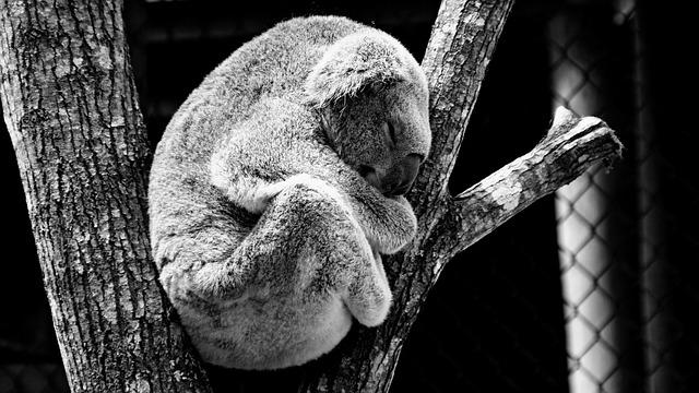 Animal, Koala, Nature