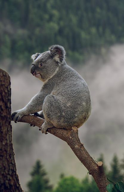 Koala, Phascolarctos Cinereus, Bear, Animal, Nature