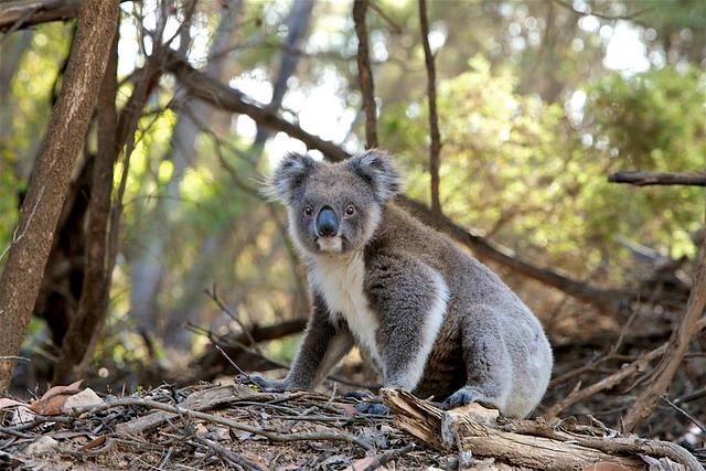 Koala, Marsupial, Animal, Fur, Nature, Wildlife
