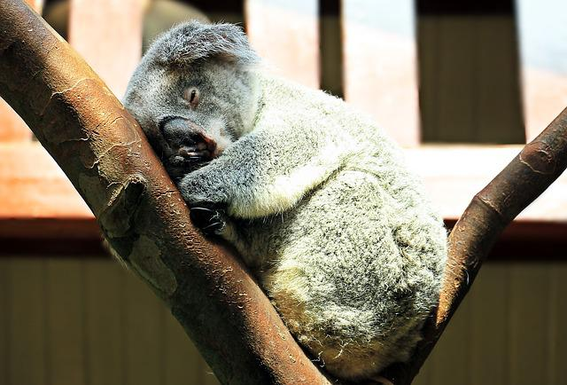 Koala, Animal, Sweet, Purry, Ashen Koala, Cuddly, Rest